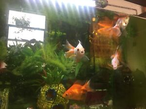 5 fancy and rare gold fishes for sale