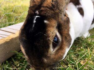 FREE Adult Miniature Rex Rabbits