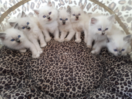 RAGAJEAN RAGDOLL CATS A REGISTERED BREEDER WITH ANCATS