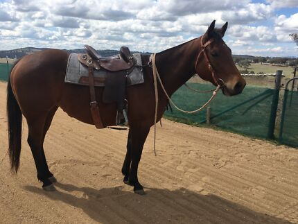 3 year old AQHA filly