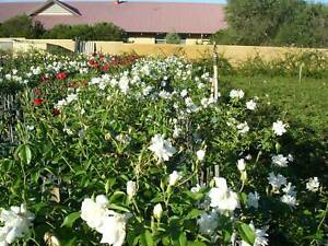 STANDARD ICEBERG ROSES - STOCK CLEARANCE SALE - READ ADVERTISEMENT