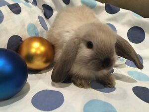 19 BEAUTIFUL BABY BUNNIES TO CUDDLE :)) Burnside Melton Area Preview