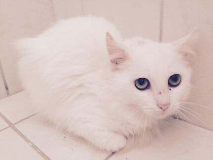 Found White Female kitten approx 6 months old Two Rocks Wanneroo Area Preview