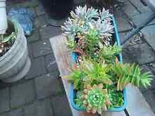Succulents and cactus Bidwill Blacktown Area Preview