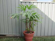 HOUSE PLANT - INDOOR RAPHIS PALM - LARGE Charlestown Lake Macquarie Area Preview