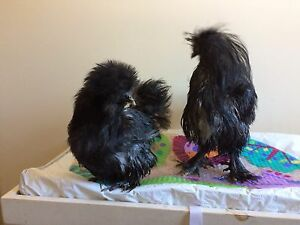 Silkie pair for sale