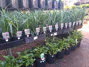 Liriope evergreen giant!  Full and lush! Springwood Logan Area Preview