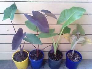Elephant ear - velvet, green , blue or black in 130mm pot. Draper Brisbane North West Preview