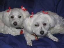 A Maltese's Shitzu Cross Female Puppy Predominantly White Aberfoyle Park Morphett Vale Area Preview