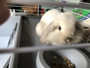 Holland Lop Eared Bunny with everything you need
