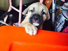STAFFY x puppy's READY FOR NEW HOMES NOW !!! Caboolture Caboolture Area Preview