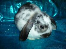 MINI LOP BABY NICE PERSONALITY!!  little Buck #5 READY SOON Modbury Tea Tree Gully Area Preview