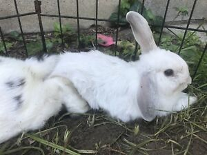 One holland lop buck left! Price drop!