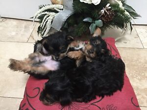 Adorable Yorkie Puppies *3 LEFT!!*