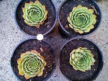 """Succulent """"Sempervivum Tectorum / House Leek"""" plants x 4 Tullamarine Hume Area Preview"""