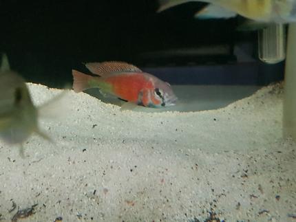 Red Salmon cichlid fry