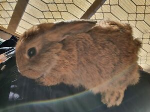 Pure breed lop bunnies