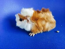 Long fur baby guinea pig Willetton Canning Area Preview