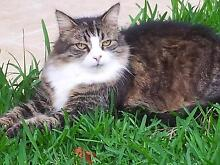 LOST - REWARD - TABBY CAT (FLUFFY WITH PINK NOSE AND WHITE CHEST) Thornlands Redland Area Preview
