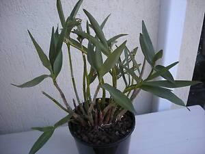 Dendrobium Bardo Rose orchid Brunswick West Moreland Area Preview
