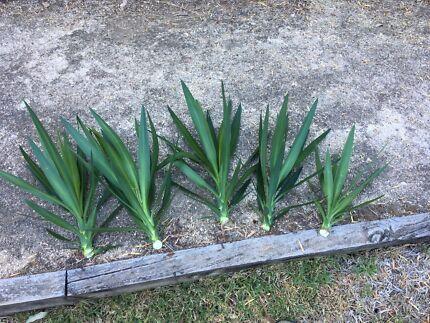 Free Yukka Plants (pups) for planting