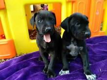 GREAT DANE PUPPIES Highfields Toowoomba Surrounds Preview