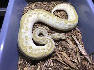 Butter Spotnose Clown Ball Python