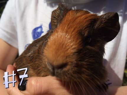 Sweet Guinea Pig Girl Toormina Coffs Harbour City Preview