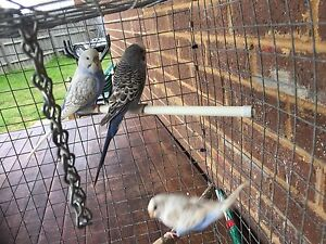3 young budgies and new cages Meadow Heights Hume Area Preview