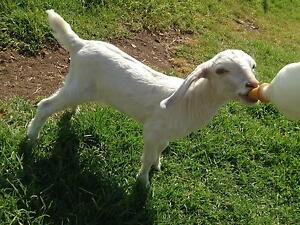 Hornless Baby Goat On The Bottle, Desexed Lakesland Wollondilly Area Preview