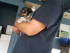 Mini foxy x chihuahua free to good home *No kids* Dysart Isaac Area Preview