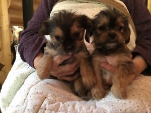 Shih-Tzu  x Yorkie will be in Vernon Friday with puppies