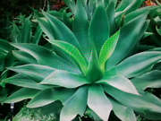 AGAVE PLANTS Caboolture Caboolture Area Preview