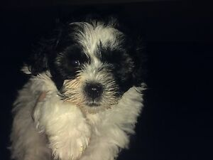 Moodle Puppy male Calliope Gladstone Surrounds Preview