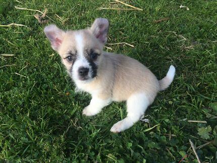 Chihuahua x shihtzu  Cowra Cowra Area Preview