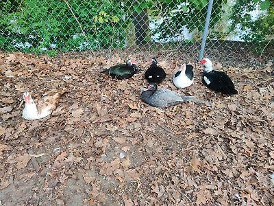 12 Mixed Duck Eggs Wild Fed Diet Organic Free Range Pasture Raised Hatching