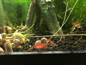 Cherry shrimp 1$ each