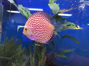 Chinese New Year Discus Sale!!!! Hampstead Gardens Port Adelaide Area Preview