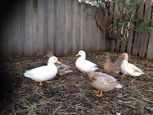 AUSTRALIAN CALL DUCKS FOR SALE Moonah Glenorchy Area Preview