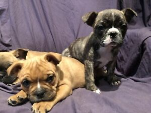 French Bulldog x Puppies