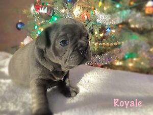 French Bulldog puppies ~ Ready to go Jan 5th