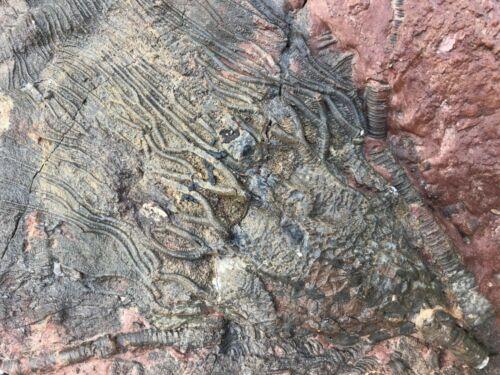 Scyphocrinites Crinoid. Morocco