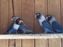 Lovebirds Lilydale Launceston Area Preview