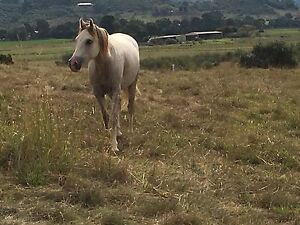 Part Bred Arab Mare 5 years old Camden Camden Area Preview