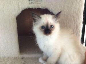 Birman kittens Beckenham Gosnells Area Preview