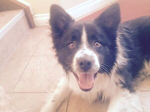 Collie looking for a good home