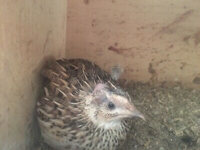 6 Pure European/Grey Quail Hatching Eggs, Quails/Partridges/Pheasants