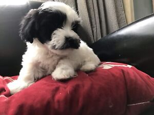 Sweetest Havanese/shih tzu puppies for sale