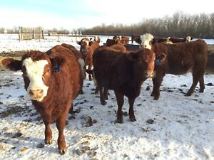 Red Heifer Calves Wanted