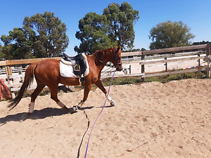 Stunning Liver Chestnut Mare Clyde Casey Area Preview